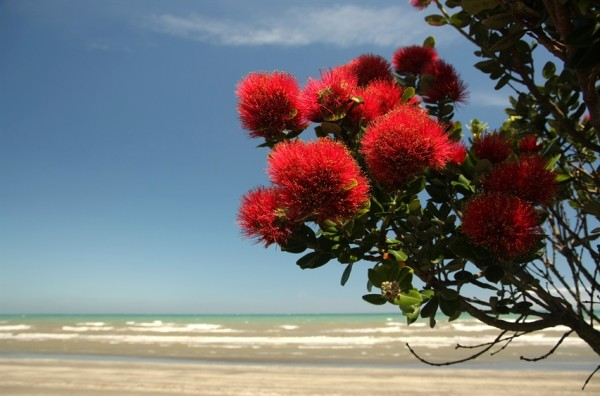 Pohutukawa tree on the beach
